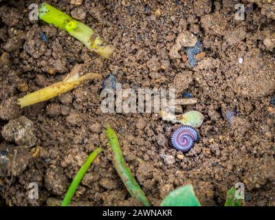 A high angle shot of a rolled earthworm in the soil - Stock Photo