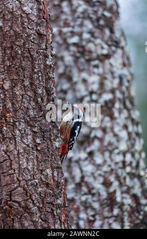 PICO MEDIANO - Middle spotted woodpecker (Dendrocoptes medius) - Stock Photo