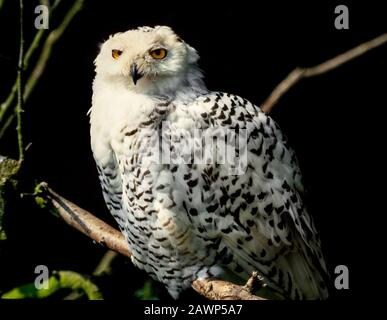 Snowy Owl, Bubo scandiacus, Arctic tundra & Northern Isles - Stock Photo