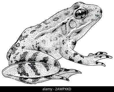Foothill Yellow-legged Frog (Rana boylii) illustration. - Stock Photo