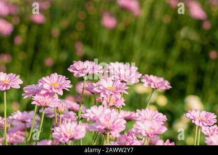 Fresh bright Pink chrysanthemums in autumn garden. Close uppink chrysanthemums. Pink flowers concept. - Stock Photo