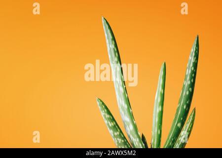 Aloe Vera plant on yellow orange background. Free copy space. Tropical healing herbal concept. - Stock Photo