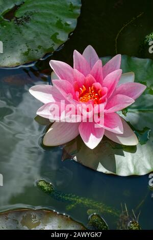 Pink Water Lily flower.