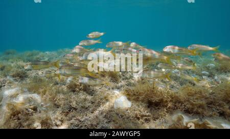 Group of striped red mullet fish underwater in the Mediterranean sea, Spain, Costa Brava, Cadaques, Catalonia, Cap de Creus - Stock Photo