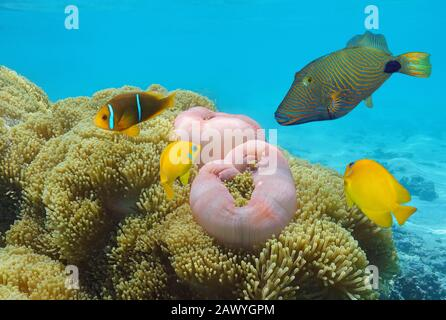 Colorful tropical fish with sea anemones underwater in Pacific ocean, French Polynesia