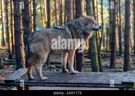 European grey wolf (Canis lupus lupus) at Highland Wildlife Park, Kincraig, Kingussie, Scotland, United Kingdom - Stock Photo