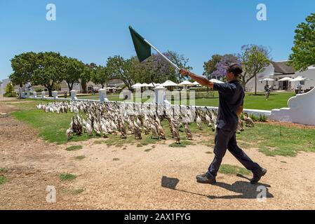 Faure near Stellenbosch, Western cape, South Africa. Indian Runner ducks being herded. They are used in the vines to control snails and pests and on p - Stock Photo