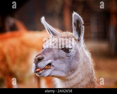 Portrait of head Alpaca, Vicugna pacos, Llama, that chews grass. It is is a species of South American. It behaves mainly due to the production of high