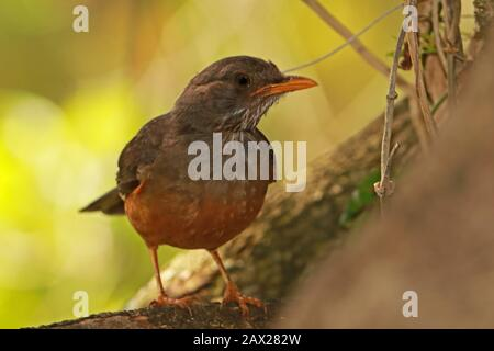 Olive Thrush (Turdus olivaceus) adult perched on branch  Wilderness, South Africa               November - Stock Photo