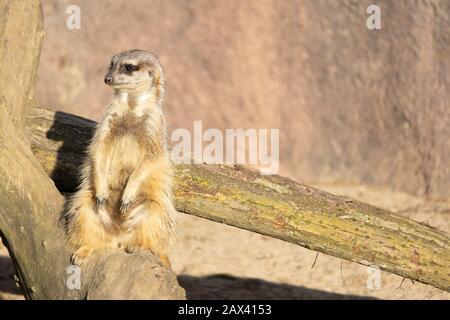 A closeup shot of a curious meerkat sitting on a log - Stock Photo
