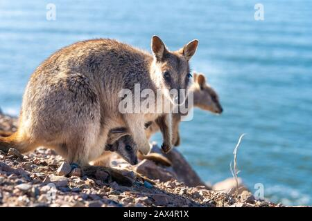 Allied rock-wallaby (Petrogale assimilis) with joey in pouch - Stock Photo