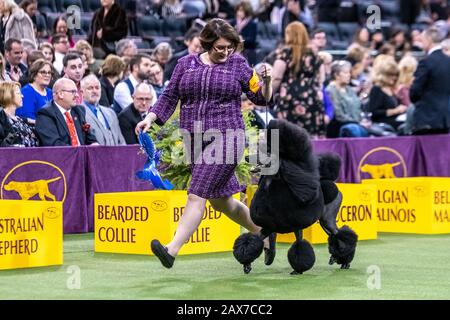 New York, USA. 10th Feb, 2020. Handler Chrystal Clas from Northampton, Pennsylvania, and her Standard Poodle Siba walk away with the prize after winning the Non-sporting group category at the 144th Westminster Kennel Club Dog show in New York city's Madison Square Garden.  GCHP Stone Run Afternoon Tea, aka Siba, owned by Connie Unger and William Lee, also won Best of Breed for standard poodles earlier in the day. Credit: Enrique Shore/Alamy Live News - Stock Photo