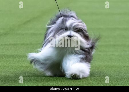New York, USA. 10th Feb, 2020. 'Bono' the Havanese competes to win the Toy group category at the 144th Westminster Kennel Club Dog show in New York city's Madison Square Garden.  Bono's formal competition name is Oeste's In The Name Of Love.  Credit: Enrique Shore/Alamy Live News - Stock Photo