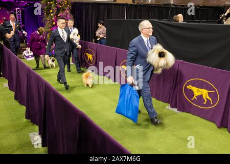 New York, NY, USA. 10th Feb, 2020. The toy group enters the show ring at the 144th Westminster Kennel Club Dog show at New York's Madison Square Garden. Credit: Ed Lefkowicz/Alamy Live News - Stock Photo