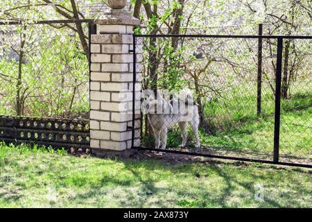 Gray big dog behind the fence in the garden - Stock Photo