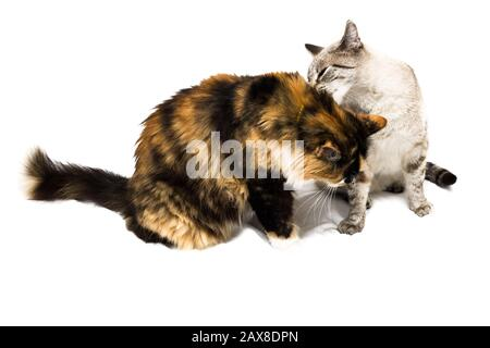 Two cat plays on a white background - Stock Photo