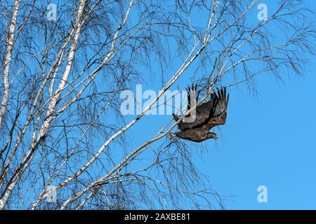 White-tailed Eagle (Haliaeetus albicilla). Bialowieza, Poland - Stock Photo