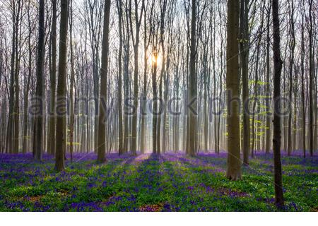 Belgium, Vlaanderen (Flanders), Halle. Bluebell flowers (Hyacinthoides non-scripta) carpet hardwood beech forest in early spring in the Hallerbos fore - Stock Photo
