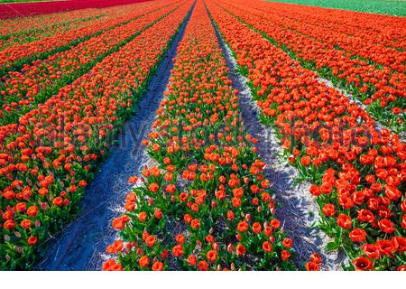 Netherlands, South Holland, Lisse. Dutch tulips in bloom in a bulb field in  early spring. - Stock Photo