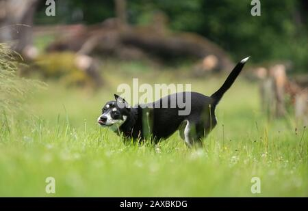 Photo of Mixed-breed juvenile dog of Siberian Husky on meadow, playing, running. - Stock Photo