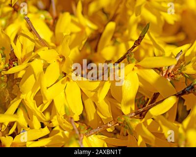 Flowering forsythia in spring - Stock Photo
