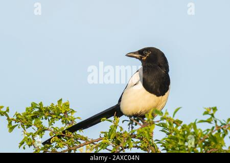 Eurasian magpie or common magpie Pica pica perched in a tree during a beautiful sunset - Stock Photo