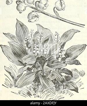 Dreer's wholesale price list : 1905 bulbs plants seasonable flower and vegetable seeds, fertilizers, tools, etc., etc . S%/1. LILY OF THE VALLEY 16 HENRY A. DREER, Philadelphia, Pa. - Stock Photo