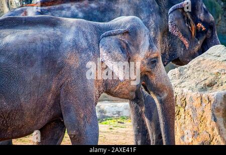 Close up photo of cute baby elephant . The Asian elephant, also called Asiatic elephant. It is head profile. It is distributed in the Indian - Stock Photo