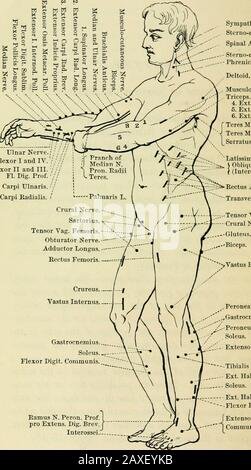 Electro-therapeutics: a condensed manual of medical electricity . nerves, for they cor-respond exactly to the places where these nerves enterthe muscular tissue. For the demonstration of this factwe are indebted to Ziemssen. In the accompanying illustrations, the motor pointshave been placed as given by Ziemssen, with a very fewexceptions in the case of the full-length figure, where,for instance, I have given two points for the sartorius.The reader will observe the position of the arms in thesame figure; the right forearm presents its anterioraspect, but is very slightly pronated, so as to sho - Stock Photo