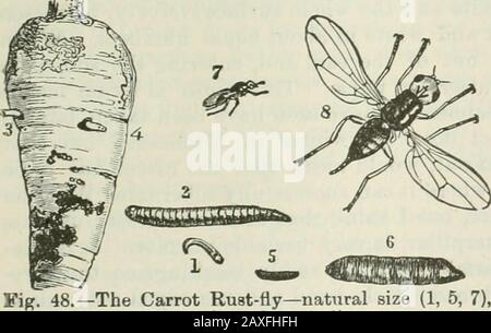 Ontario Sessional Papers, 1898-99, No.18-25 . nd enlarged (2, 6, 8). maggots, as a rule, leave the cairots before assuming this form. The fly and its work are shown very well in the figure (Fig. 48) byJohn Curtis, which I am able to present herewith through the courtesy of Miss Ormerodand Messrs. Blackie & Sons. The mature fly is two-winged, ^ of an inch long, brightshiny black, with yellow legs and red eyes. The wings are beautifully iridescent. Thewinter is passed either as a maggot or in the puparium. Remedies.—The methods which have given the best results in preventing injury bythe Carrot - Stock Photo