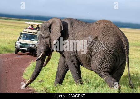 Elephant walking in front of safari vehicle - Stock Photo