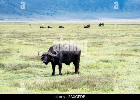 African Buffalo with the rim of the Ngorongoro crater in the background. - Stock Photo
