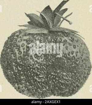 Ontario Sessional Papers, 1898-99, No.18-25 . healthy,producing large clusters of fine fruit. It is also a good runner,making many plants, very productive. Fruit, is large and fine looking, bright crimson, with goldseeds imbedded. The berry is very solid and firm. Flbsh, is scarlet in color, very firm and of very goodquality. Season, early to medium. Adaptation. It seems to do very well on all soils, it hasbeen tried over a wide extent of territory. S. SHARPLESS. {Perfect blossom.) The Sharpless has been before the public for a longtime. In some parts it is still told to be one of the best,but - Stock Photo