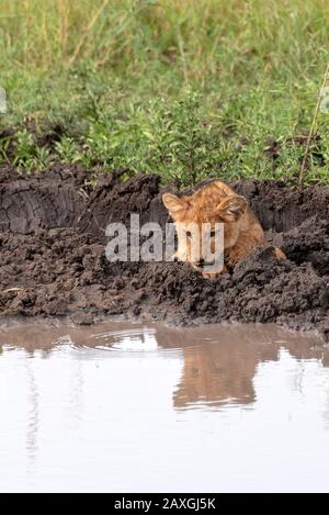 Lion cub looking at his reflection in the pond - Stock Photo