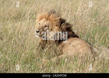 Handsome male Lion resting on the grasslands of the Serengeti National Park