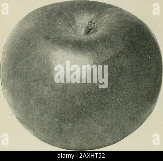 Ontario Sessional Papers, 1898-99, No.18-25 . ria. Sessional Papers (No. 21). A. 1899 WEALTHY. This beautiful apple was distributed among the members of the Ontario Fruit GrowersAssociation in 1882 for trial, and has won for itself a good reputation in every part of the Pro-vince as a dessert apple of excellent quality, while in the northern portions it is especially desirable on account of itshardiness. Mr. A. A.Wright, of Renfrew, saysthe tree endures 40° be-low zero without injury,and he advises plantingthis variety freely at thenorth. Mr. R. W. Shep-herd, of Montreal, hasgrown it in that v - Stock Photo