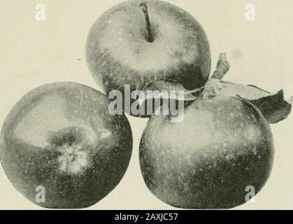 Ontario Sessional Papers, 1898-99, No.18-25 . Cranberry Pippin. (Reduced.) Adaptation, Southern portions of the Province, especially along the shores of the lakes 10 62 Victoria. Sessional Papers (No. 21 ,. A. 189 9 EARLY HARVEST. The best apple of its season both for dessert and cooking, but of late years rendered worth-less in Ontario by scab, which not only spoils its appearance but lessens its size and injures itsflavor. The Early Harvest and Fall Pippin are the two apples which seem to be least able toresist this terrible fungus, and which most favor its spread. Unless therefore this fung - Stock Photo