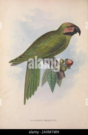 Palaeornis Modestus (Long-tailed Parakeet) from Zoologia typica; or, Figures of new and rare animals and birds described in the proceedings, or exhibi