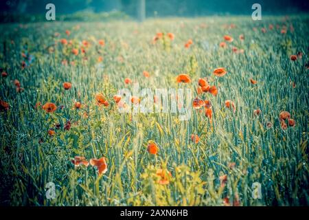 beautiful field with poppies in the morning filter - Stock Photo
