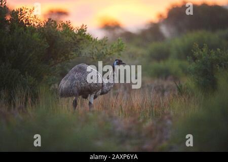 Giant Emu (Dromaius novaehollandiae), Meadow, Sideways, Standing, sunset, Wilsons Promontory National Park, Victoria, Australia - Stock Photo