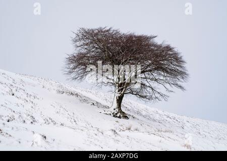 A lone tree on a hillside after a fall of snow, Leadhills, South Lanarkshire. - Stock Photo