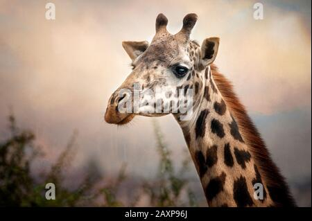 Headshot of a Masai Giraffe in Nairobi National Park, Nairobi, Kenya. - Stock Photo