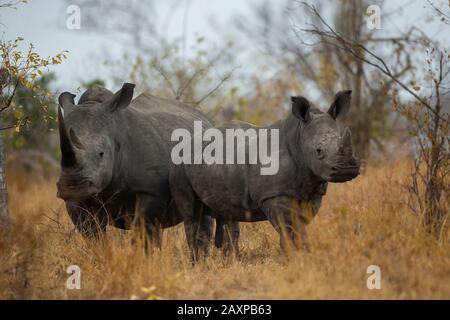 The southern white rhinoceros or southern square-lipped rhinoceros (Ceratotherium simum simum) - Stock Photo