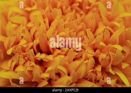 Close up of Marigold flower