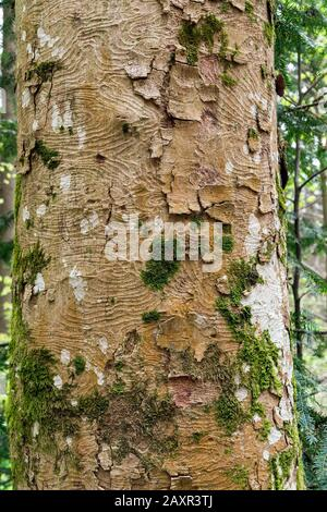 Germany, Baden-Württemberg, Murrhardt, bark of the mountain maple, Acer pseudoplatanus in the Swabian-Franconian Forest Nature Park. - Stock Photo