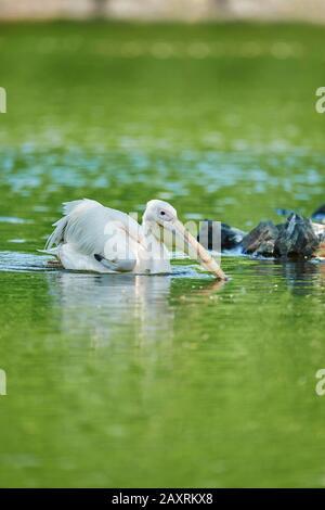 Dalmatian Pelican, Pelecanus crispus, head-on, swimming - Stock Photo