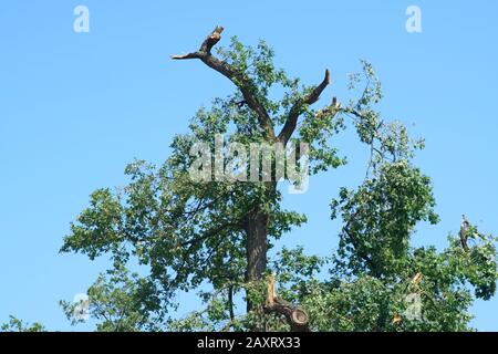 The treetop of an oak with sawn branches after a storm. - Stock Photo