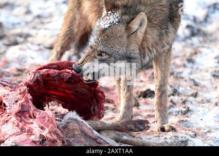 Wolf with prey, aggression, baring teeth - Stock Photo