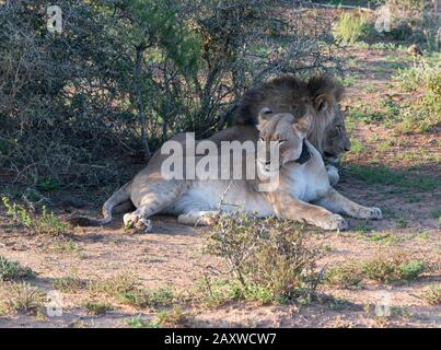 Pair of lions, brother and sister named Jack and Jill, rest in a shady spot in the Addo Elephant National Park, Eastern Cape, South Africa - Stock Photo