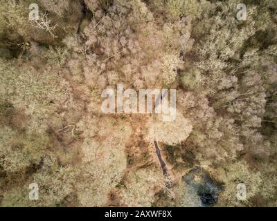 Winter woodland. Aerial drone photo looking down vertically onto the canopy of a leafless autumnal ancient English forest. - Stock Photo